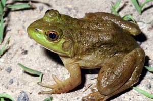 Bullfrogs Лягушка-бык