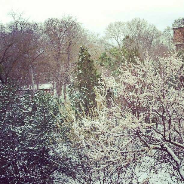 Крымская весна, цветущие абрикосы в снегу