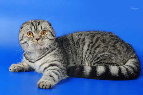 Скоттиш-фолд вислоухий кот